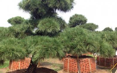 黑松景观树怎样造型?黑松景观树的造型技术