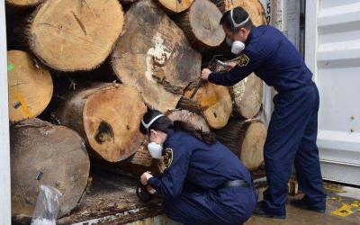 浙江口岸首次从进口木材中截获害虫短凹盾象