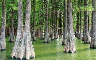杉木和水杉是同一种植物吗?