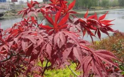 鸡爪槭与红枫的区别