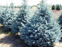 蓝杉是何树种?美国蓝杉要怎么种植?