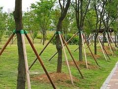 果树大苗和大树移植的保