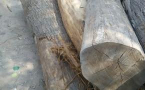 供应国槐杜木香椿木原木