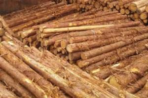 中国从柳杉原木中首次截获长带刺虎天牛