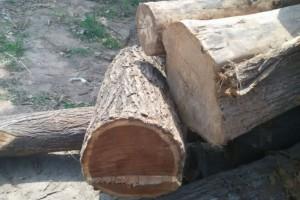 供应优质国槐梧桐木香椿木核桃木原木