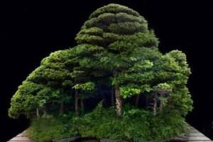 丛林式盆景造型怎么做?