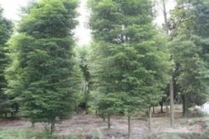 湖北竹溪建立国家战略储备楠木基地