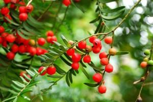 """植物王国里的""""活化石""""——红豆杉木材识别"""