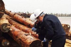 连云港口岸首次从进境原木截获有害生物浅褐乳白蚁