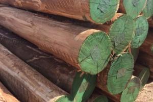 南美《尤加利》玫瑰桉木原木产品