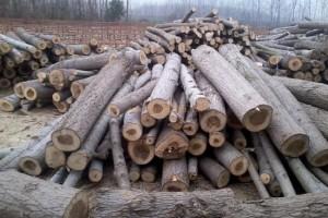 大量收购杨木原木