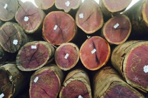 巴西紫心木原木产品