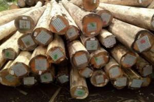 乌拉圭玫瑰桉木原木产品