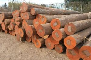 乌拉圭玫瑰桉木原木图片