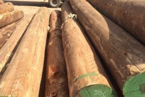 黄埔海关从进口原木截获皱翅白点墨天牛