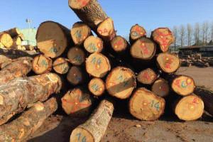 欧洲橡木原木图片