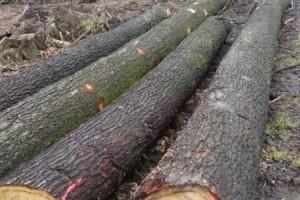 歐洲白橡木原木产品