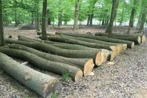 歐洲白橡木原木图片