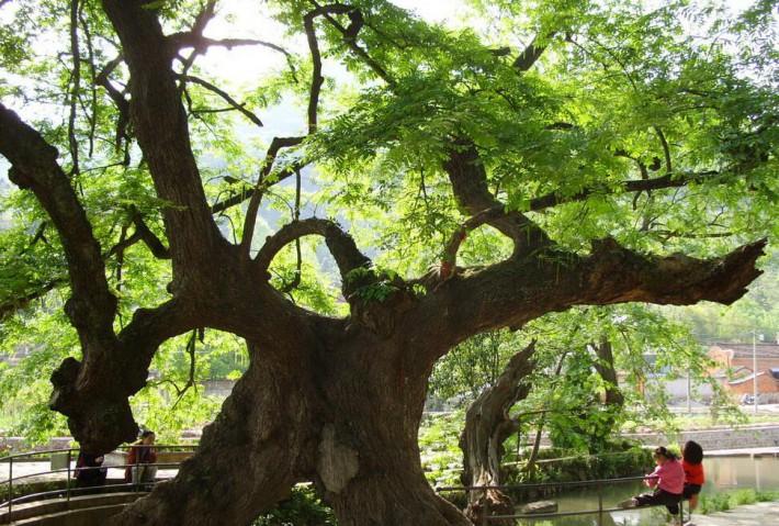 台灣酸枝属于红木吗?小葉相思樹《樂器級》原木有什么用途?