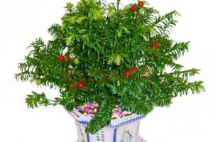 红豆杉可以用来做盆景吗?
