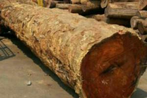 最大缅甸草花梨寻安家,长度11米,小头直径1.44米,大头直径3.33米