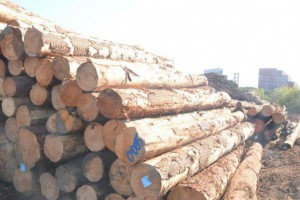 抚州松木原木本地松木原木厂家联系方式辉煌精品松木厂家联系方式
