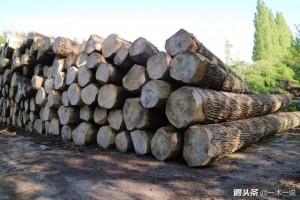 欧洲杨木原木直径40cm+ A等刨切级别批发进口