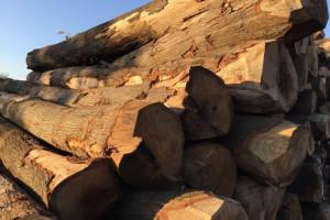 红橡木原木ABC锯材级欧洲荷兰进口新鲜砍伐熏蒸
