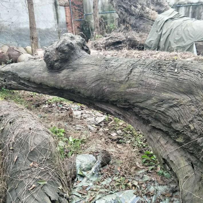 金丝楠木阴沉木原木供货商