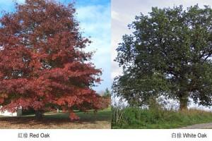 """白橡、红橡或欧洲橡木为什么不统称为""""橡木""""?"""