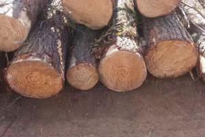 巴西松木 进口木材 质量好