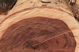 雞翅木《鋨刀木》原木直徑 60公分以上