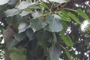 农村适合栽种哪些速生性,木材还好的树木?