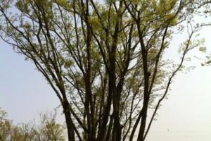 绿化苗木价格 丛生乌桕 七叶树 枫杨树 二乔玉兰 柿树 水杉