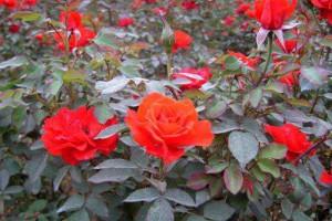 绿化花木价格 月季 八角金盘 南天竹 红叶石楠球 金焰绣线菊