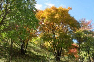 落叶乔木价格 丛生元宝枫 复叶槭 千头椿 榔榆 红玉兰 红梅