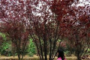 花灌木报价 红叶李 茶花球 茶梅球 美人梅 紫丁香 丛生桂花