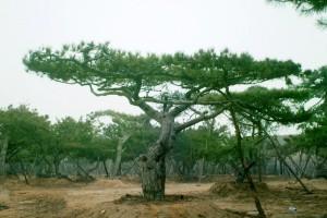 造型苗木 造型黑松 瓜子黄杨球 丛生朴树 造型榔榆 紫叶矮樱