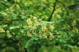 农村的黄檀树有什么作用?