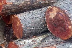 红椿原木出售