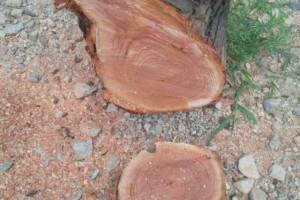 长期供应山东香椿木红椿木原木