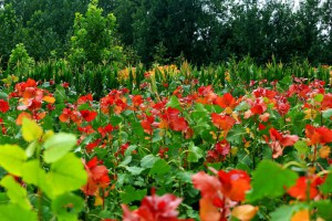 冠红杨各种规格小苗