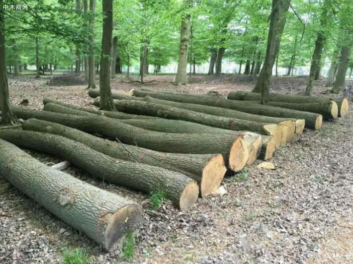 采用欧洲白橡木要特别注意一点