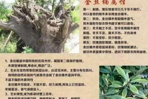 什么是金丝楠木树头料?