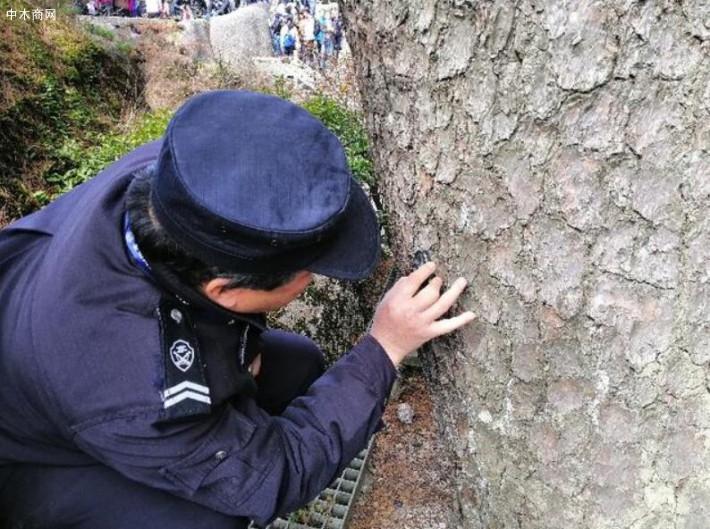 胡晓春正在使用放大镜观察迎客松树皮 新华社记者刘方强摄