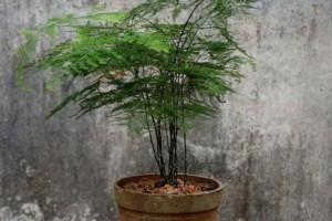如何能让文竹一直绿油油的,不黄叶?