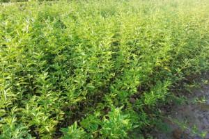 绿化苗木品种大全及产品价格表_认准:环球花木网