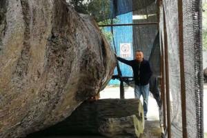 巨大金丝楠乌木低价出售,十八米长一米七小头直径