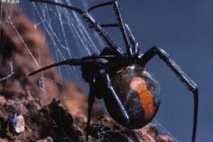 杭州海关从进口原木首次截获剧毒红斑寇蛛