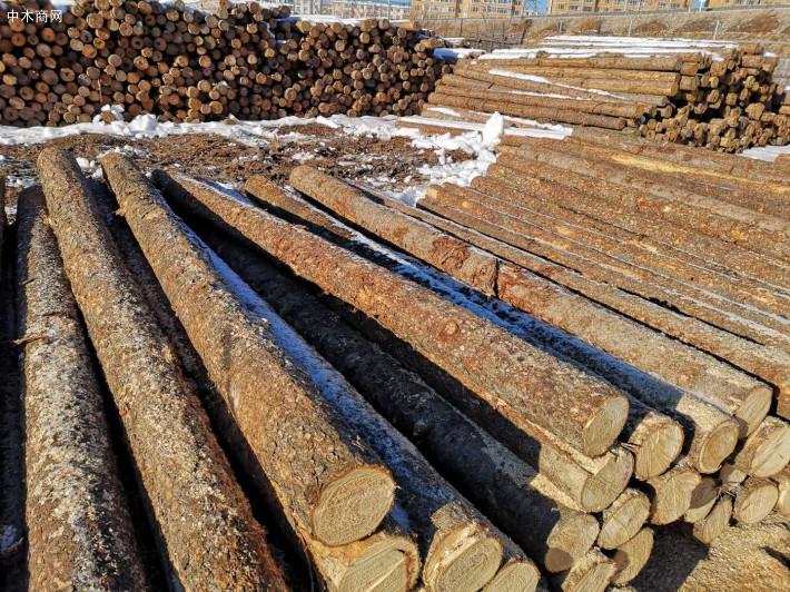 大量俄罗斯落叶松原木图片